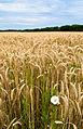 Harvest time (2746485042).jpg