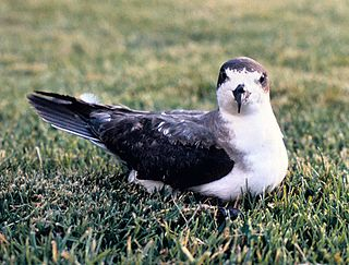 Hawaiian petrel species of bird