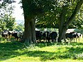 Heifers, Coleshill Estate, Oxfordshire - geograph.org.uk - 536256.jpg