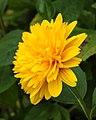 Helianthus x multiflorus (Soleil d'Or). Locatie De Kruidhof 01.JPG