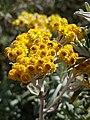 Helichrysum splendidum01.jpg
