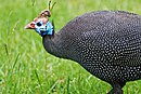 Helmeted Guineafowl in the Drakensberg of Natal.jpg
