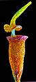 Hennediella heimii capsule.jpg