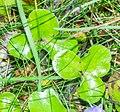 Hepatica nobilis in Lozere (2).jpg