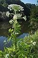 Heracleum mantegazzianum Sommier & Levier Riesen-Bärenklau.jpg