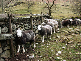 Herdwicks Lake District.jpg