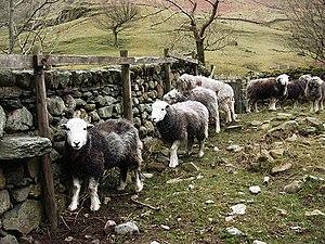 Watendlath - Herdwick sheep