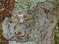 Herennia multipuncta female male.jpg