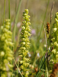 H. monorchis, honungsblomster