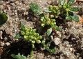 Herniaria glabra kz08.jpg