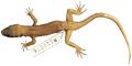 Heteronotia atra holotype (WAM R110076) - journal.pone.0078110.g014.png