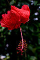 Hibiscus Flower (Imagicity 403).jpg