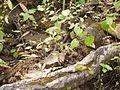 Hibiscus lobatus (9953335524).jpg