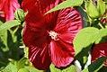 Hibiscus moscheutos Luna Red 1zz.jpg