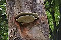 High-level fungus, Killynether Wood - geograph.org.uk - 545983.jpg