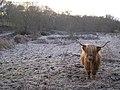 Highland Cow at Critreoch, nr Loch Lomond - geograph.org.uk - 97683.jpg