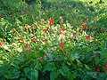 Hilly Flower-Keokradong-Bandarban-Biplob Rahman.jpg