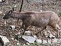 Himalayan Zoo, Darjeeling (7353937712).jpg