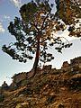 Himalayan tree.jpg