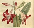 Hippeastrum reticulatum var. striatifolium2113.jpg