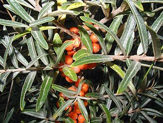 Hippophae - Common sea buckthorn