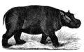 Hippopotamus amphibius.jpg
