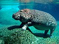 Hippopotamus in San Diego Zoo.jpg