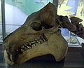 Hippopotamus lemerlei skull.jpg