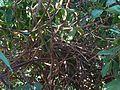 Hiptage benghalensis (2094740857).jpg