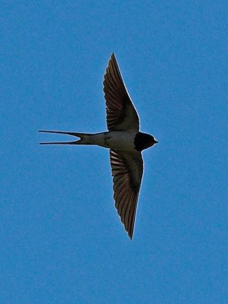 The Morall Fabillis of Esope the Phrygian - Image: Hirundo Rustica Flight 1