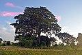 Historic Muvule Tree 3.jpg