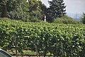 Hochheim am Main - Vineyard - geo.hlipp.de - 27480.jpg