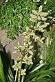 Hohenbergia stellata 1.jpg