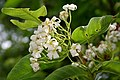Holarrhena pubescens flowers & leaves W IMG 0290.jpg