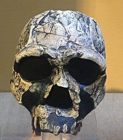 Cráneo de Homo ergaster