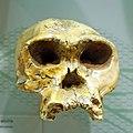 Homo habilis skull.jpg