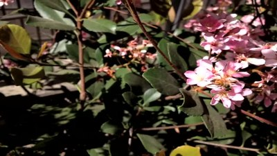 File:Honey Bee Pollinating.webm