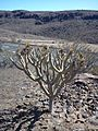 Honos kaktuszfélék Gran Canaria kopár déli részén.jpg