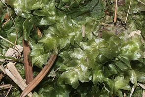 Hookeria lucens