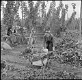 Hopping in Kent- Hop-picking in Yalding, Kent, England, UK, 1944 D22164.jpg