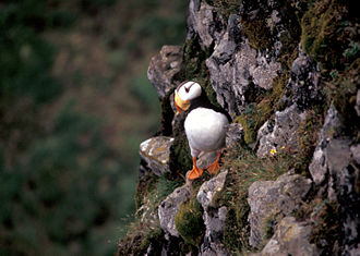 Hall Island (Alaska) - Image: Horned Puffin, Hall Island