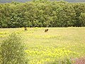 Horses in field - geograph.org.uk - 515405.jpg