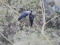 House Crow Corvus splendens by Raju Kasambe DSCN0468 (7) 34.jpg