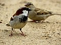 House Sparrow IMG 2604.jpg