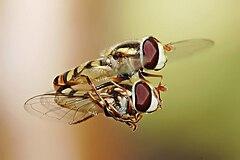 Hoverflies mating midair