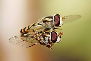 Two large-eyed flies are seen in mid-flight. The upper fly holds the lower one firmly in its legs.