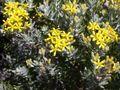 Hubertia tomentosa flowers2.JPG