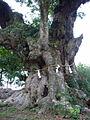 Huma-Machilus thunbergii,chiba,japan.JPG