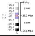 Human chromosome 19 - 550 bphs.png