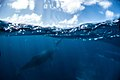 Humpback Whales - Flickr - Christopher.Michel (35).jpg